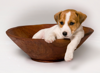 "Cute Jack Russell Puppy. ""Need puppy training, me..? Nooo..."""