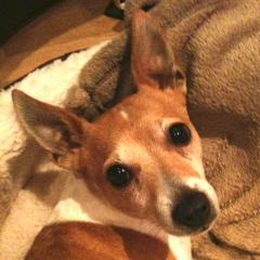 Elle, Jack Russell Terrier
