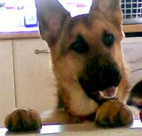 Storm - German Shepherd Dog