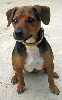 Loftus, Jack Russell Terrier Cross