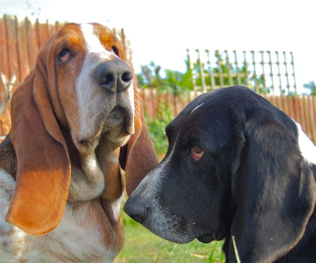 Bentley (L) and Tommy (R), lovely Basset Hounds!