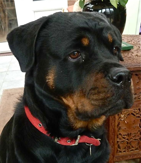 Lottie the Rottie. Lovely girl!!