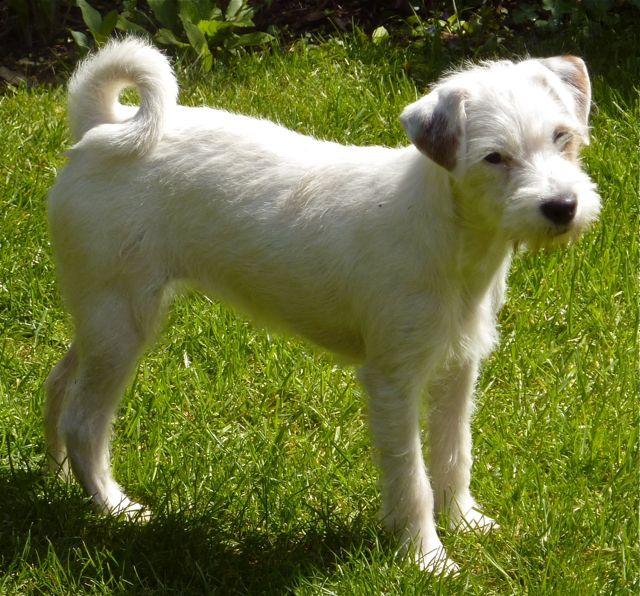 Effi, Parsons Jack Russell Terrier