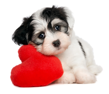 Havanese Puppy - How Cute Am I..??