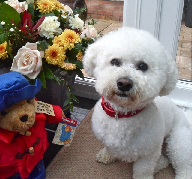 Milo, Bichon. How cute is he..?