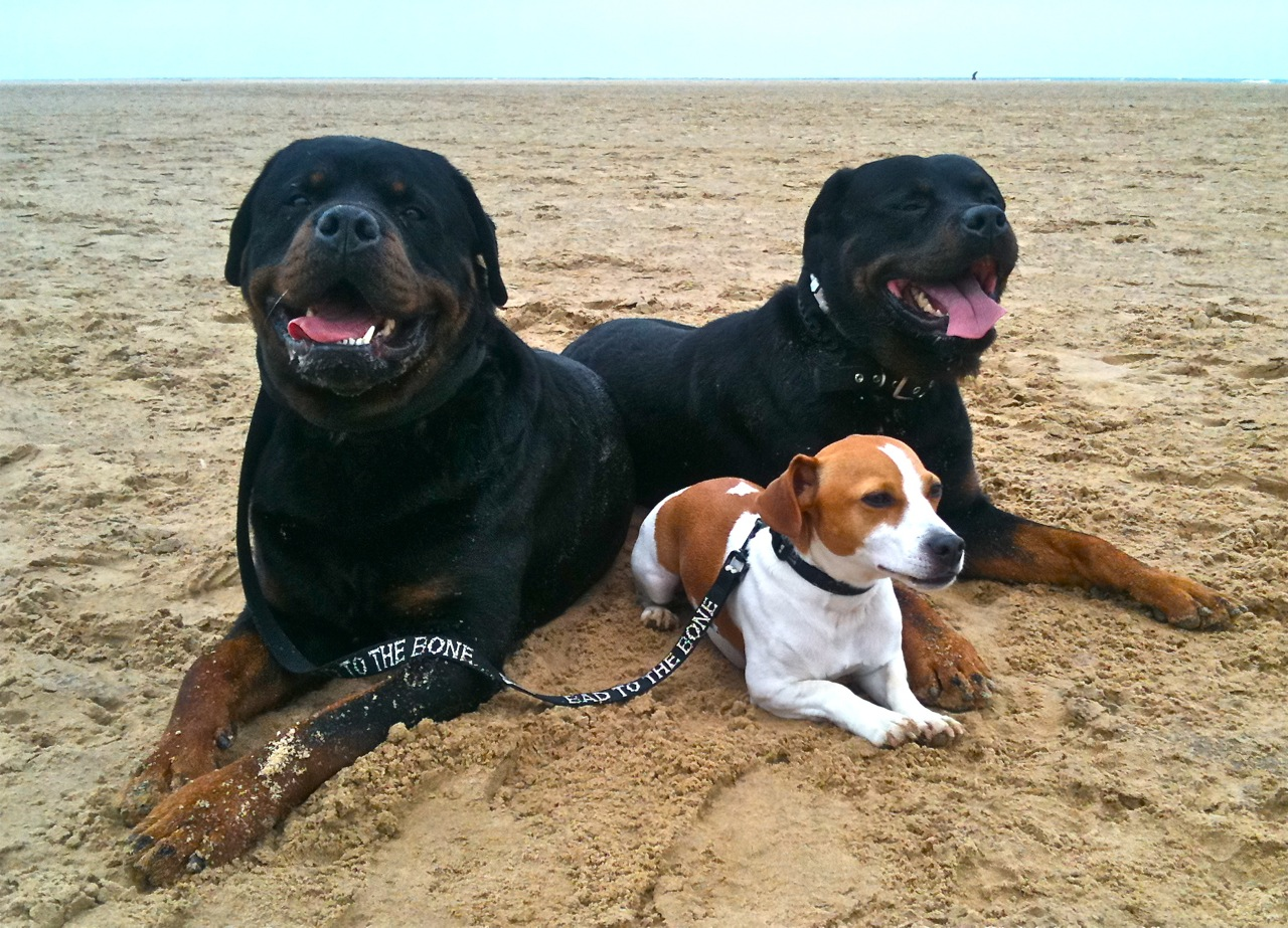 Rottweilers and a Jack Russell lie on a sandy beach